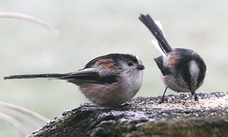 Long-tailed-tits