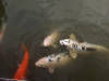 fish in pond - morguefile